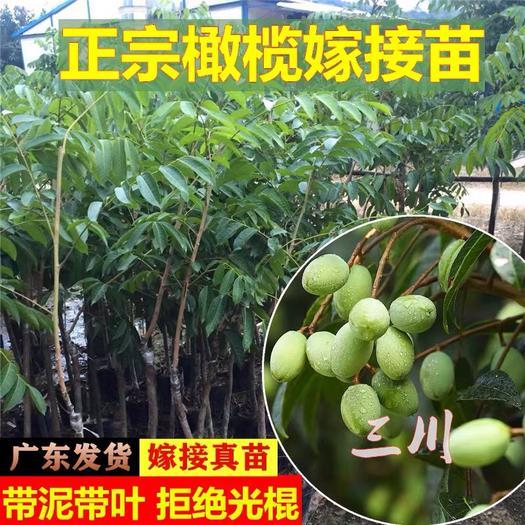 苗嫁接橄榄树 甜橄榄苗黄榄青榄黑橄榄树苗庭院种植当年结果