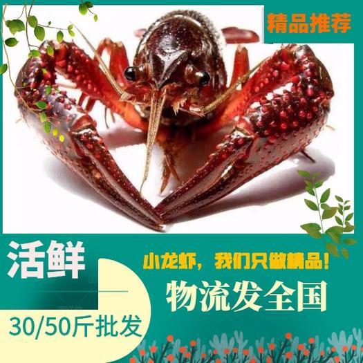 江苏兴化小龙虾,小龙虾,中青红/大青红,产地一手货源