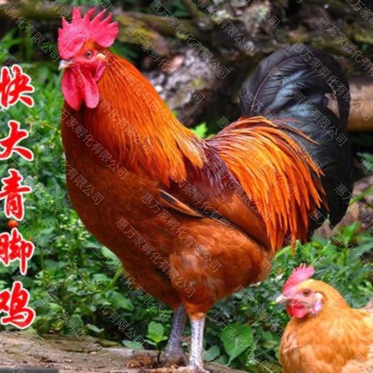 快大青脚麻鸡苗(热卖钻石卖家)全国发货正规孵化场直供批发