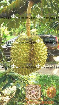 山东济南泰国榴莲 3 - 4公斤 90%以上