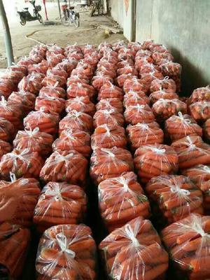 山东省泰安市肥城市日本红星胡萝卜 10~15cm 2两以上 3~4cm