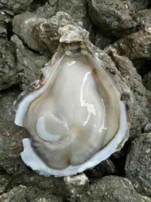 广东佛山湛江牡蛎 人工殖养 5-10只/公斤