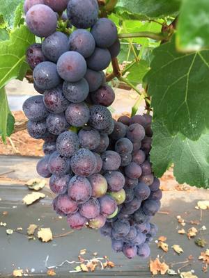 云南大理夏黑葡萄 1 - 2斤 5%以下