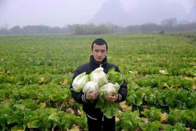河北省张家口市蔚县金峰白菜 2~3斤