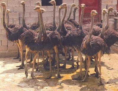 这是一张关于澳洲鸵鸟苗的产品图片
