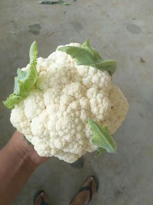 河南开封雪玉菜花 紧密 1~2斤 乳白