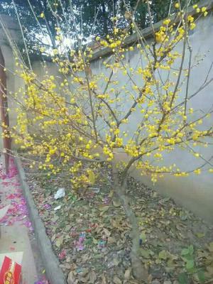 安徽省合肥市肥西县素心腊梅 1.5~2米