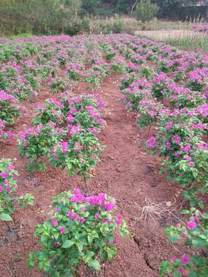 这是一张关于紫花三角梅 0.5~1.0米的产品图片