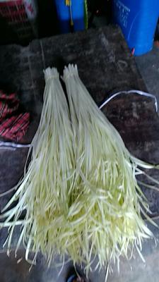 四川资阳犀蒲韭 二茬 60~70cm