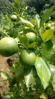这是一张关于香水柠檬苗的产品图片