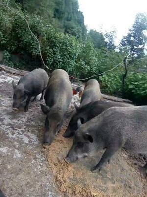 云南保山特种野猪 统货 100斤以上