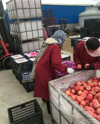 山东日照红富士苹果 纸袋 条红 80mm以上 片红