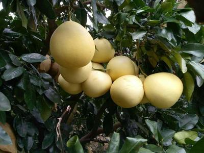 福建漳州平和蜜柚 2斤以上