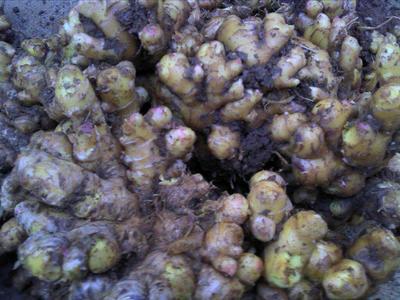 这是一张关于小黄姜 6两以上 带土的产品图片
