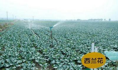 河南省周口市扶沟县优秀西兰花 0.8~1.2斤 15~20cm