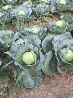山西忻州绿甘蓝 1.0~1.5斤