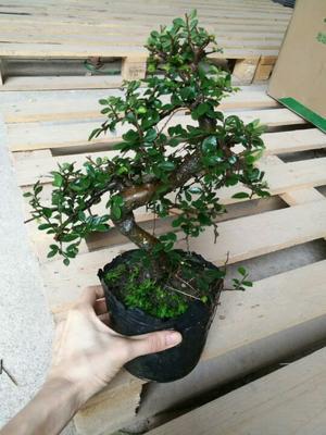 广东湛江小叶榆树