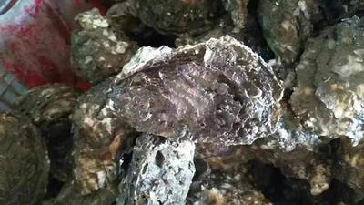 广东潮州汫洲大蚝 1-3只/公斤 人工殖养