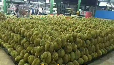 山东淄博泰国榴莲 4 - 5公斤 80 - 90%以上