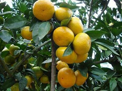 这是一张关于蜜橘 2 - 2.5cm 1 - 1.5两的产品图片