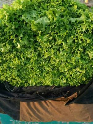 这是一张关于散叶生菜 5~6两的产品图片