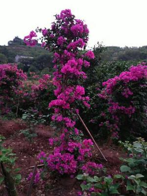四川宜宾紫花三角梅 2~2.5米