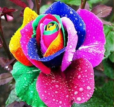 云南昆明白玫瑰
