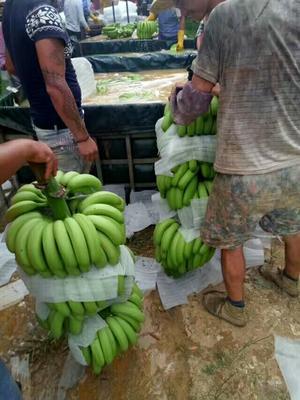 广西南宁威廉斯香蕉 60 - 70斤 七成熟