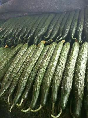 山东聊城密刺黄瓜 30cm以上 干花带刺