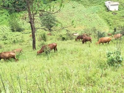 云南玉溪黄牛 400-600斤 公牛