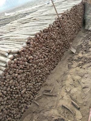 这是一张关于白玉山药 40~50cm的产品图片