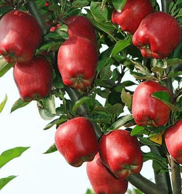 这是一张关于花牛苹果 光果 全红 75mm以下的产品图片