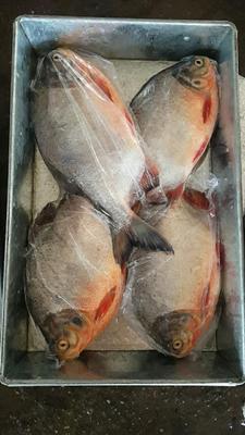 广东珠海红鲳鱼 人工养殖 1-1.5公斤
