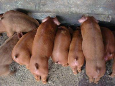 这是一张关于红毛仔猪的产品图片