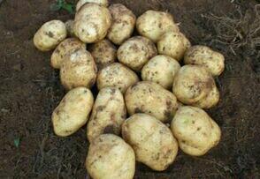 贵州毕节威宁土豆 3两以上