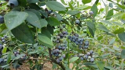 山东日照布里吉他蓝莓 12 - 14mm以上