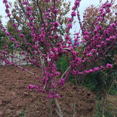 四川广元红花紫荆
