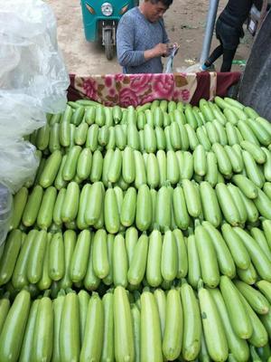 山东聊城绿皮西葫芦 0.6~0.8斤