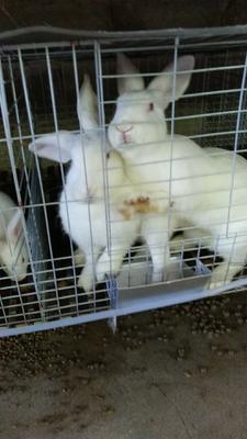 广西贵港肉兔 5斤以上