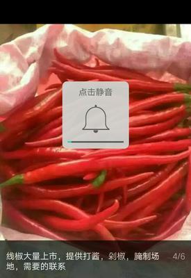 山西忻州L3F1辣椒 10~15cm 中辣