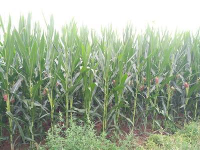 这是一张关于先玉335玉米粒 净货 水份14%-16% 霉变≤1%的产品图片
