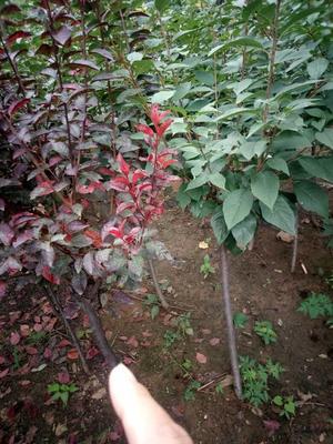 山东泰安红叶小檗