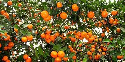 这是一张关于砂糖橘苗 嫁接苗 0.5~1米的产品图片