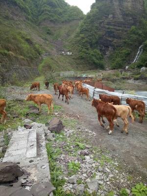 这是一张关于原生态黄牛 800-1000斤 统货的产品图片
