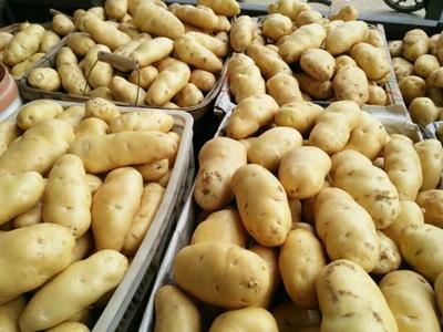 山东临沂荷兰15号土豆 4两以上