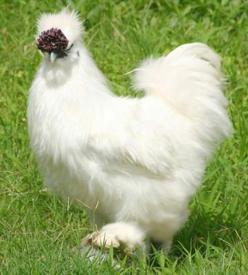 陕西西安泰和鸡 2-3斤
