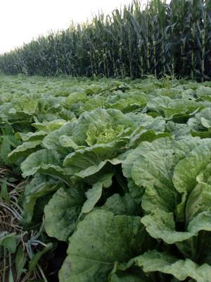 吉林省长春市农安县卷心包菜 2.0~2.5斤