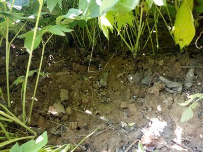 安徽亳州油用牡丹种苗 0.5~1米 8~10cm 4cm以下