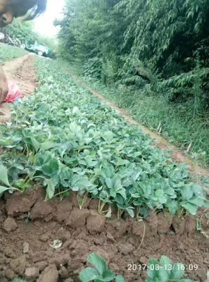 山东泰安四季草莓苗 20~30公分 地栽苗