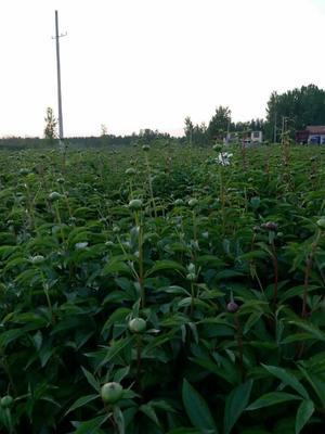 山东菏泽牡丹区占地芍药 0.5米以下 2cm以下